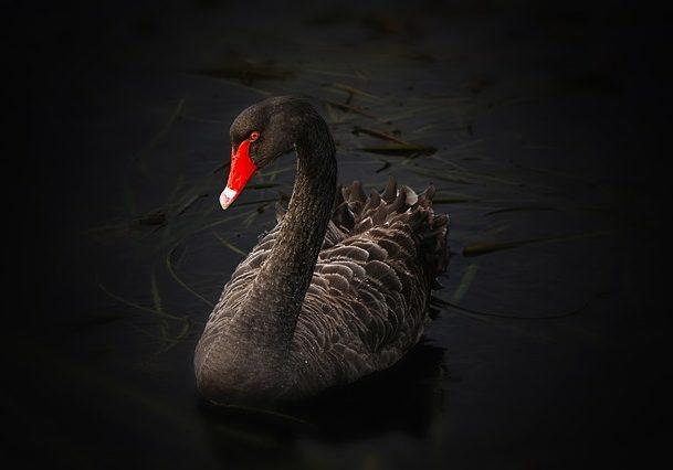 black-swan-122983_640